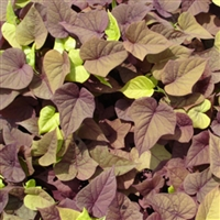 Sweet Caroline Sweetheart Red Sweet Potato Vine Ipomoea batatas