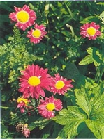 Tanacetum coccineum Painted Daisy Robinsons Rose