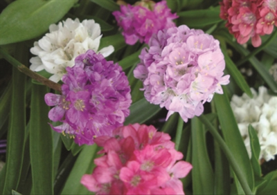 Thrift Armeria pseudarmeria Joystick Mix
