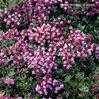 Thyme Thymus serpyllum Magic Carpet