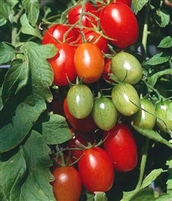 Tomatoes That Are Medium to Large