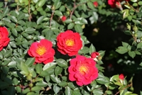 Oso Easy Urban Legend Shrub Rose