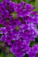 Verbena Superbena® Dark Blue