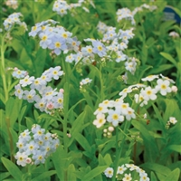 Water Forget-Me-Not, Myosotis palustris