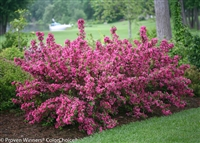 Weigela florida Sonic Bloom® Pink