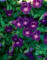 Wishbone Summer Wave Large Violet Torenia