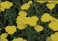 Yarrow Achillea Moonshine