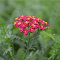 Achillea Millefolium 'New Vintage Red' Yarrow