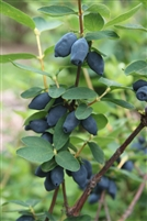 Yezberry Honey Bunch Japanese haskap Lonicera caerulea