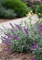 Butterfly Bush Buddleia Lo & Behold® 'Blue Chip Jr'