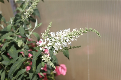 Butterfly Bush Buddleia Inspired White