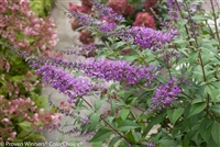 Butterfly Bush Buddleia Inspired Violet®