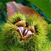 American chestnut tree