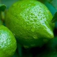 Bearss Seedless Lime Tree