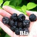 Black Hawk Raspberry Plant