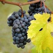 Cabernet Sauvignon Grape Vine