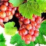 Catawba Bunch Grape Vine