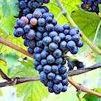 Concord Bunch Grape Vine