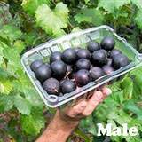 Cowart Muscadine Grape Vine