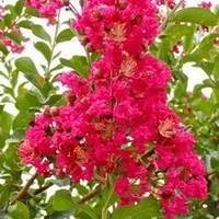 Dallas Crape Myrtle Tree