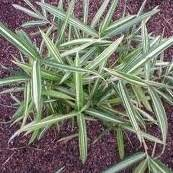 Dwarf Variegated bamboo plant