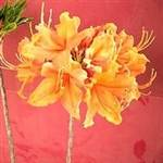 Florida Flame Orange Azalea Shrub