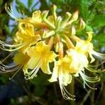 Florida Flame Yellow Azalea Shrub