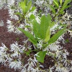 Flowering Fringe Tree