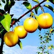 Golden Globe Plum Tree