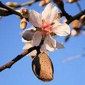 Hall's Hardy Almond Tree