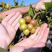 Higgins Scuppernong Grape Vine