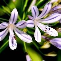 Dwarf Lily of the Nile Agapanthus Bulb