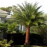 Medjool Date Palm Tree