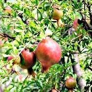 Moses Pomegranate Tree