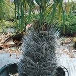 Needle Palm Tree
