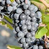 Pinot Noir Grape Vine