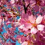 Okame Flowering Cherry Tree