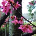 Peggy Clarke'  Japanese Flowering Apricot Tree