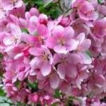 Pink Flowering Crabapple tree