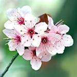 Pink Flowering Plum Tree