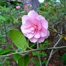 Pink Perfection' camellia shrubs