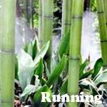 Punting Pole bamboo plant