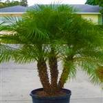 Pygmy Date Palm Tree