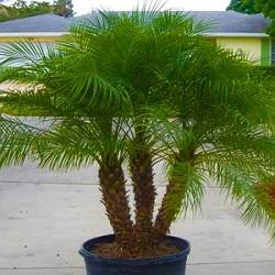 Buy Pygmy Date Palm Trees At Best Price Plants