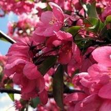 Red Flowering Crabapple tree