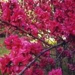 Red Flowering Peach Tree