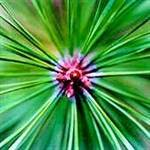 Slash Pine Tree