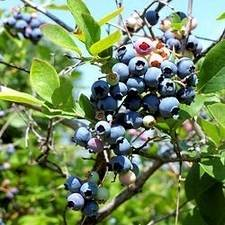 Southland Blueberry Bush