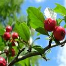Swamp Mayhaw Tree