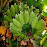 Texas Star Banana Plant